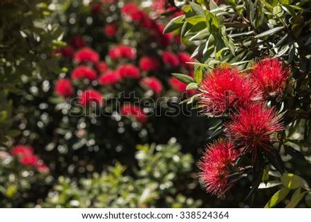 Isolated New Zealand Christmas Tree Flowers