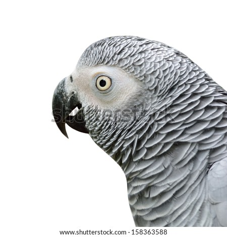 Isolated of African Grey Parrot (Psittacus erithacus) - stock photo