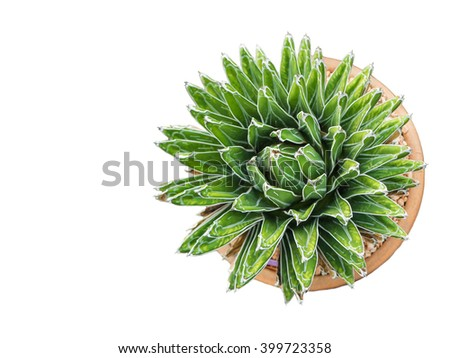 Isolated of cactus call Agave Victoria-Reginae in cultivation pot, Top view - stock photo