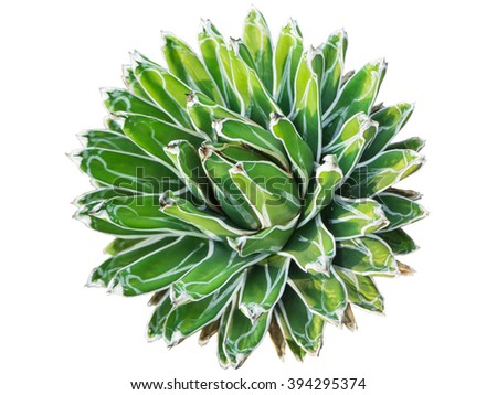 Isolated of cactus call Agave Victoria-Reginae in top view - stock photo