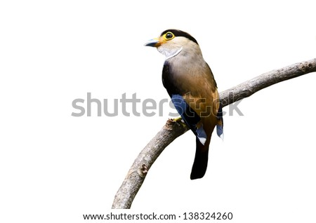 Isolated of Female Silver-breasted Broadbill (Serilophus lunatus)
