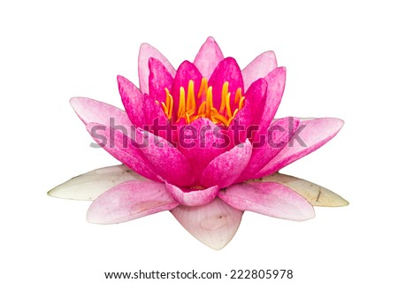 Isolated of pink lotus. - stock photo