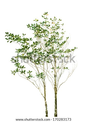 isolated of tree plant with green leaves branch on white background use for nature decorated object in park and garden