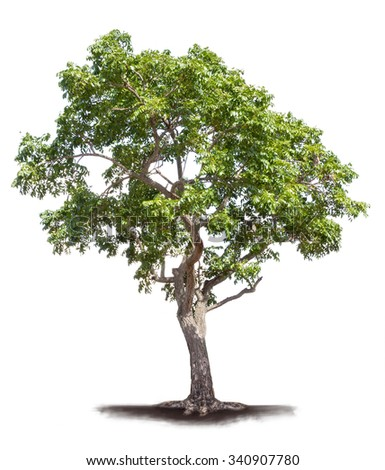 Isolated old neem tree on white background - stock photo