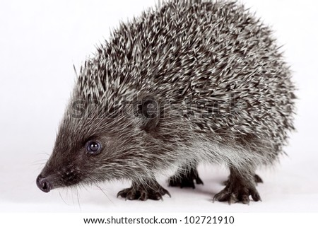 isolated on a white background cute little hedgehog.