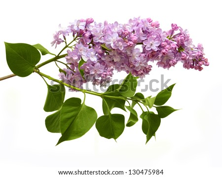 Isolated on a white background of a branch of a lilac with leaves - stock photo