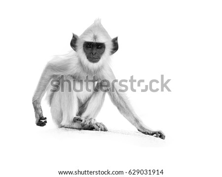 Isolated on white, artistic black and white photo of young Gray langur, Semnopithecus entellus, monkey baby sitting on the stone wall, staring directly at camera.  Anuradhapura,Sri Lanka.