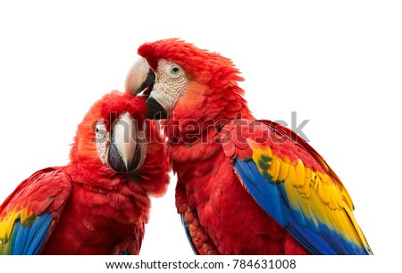 Isolated on white background, close up Ara macao, Scarlet Macaw, portrait of two red,colorful, big amazonian parrots. Pair of ara macao, showing affection. Wild animal, Costa Rica, Central America.