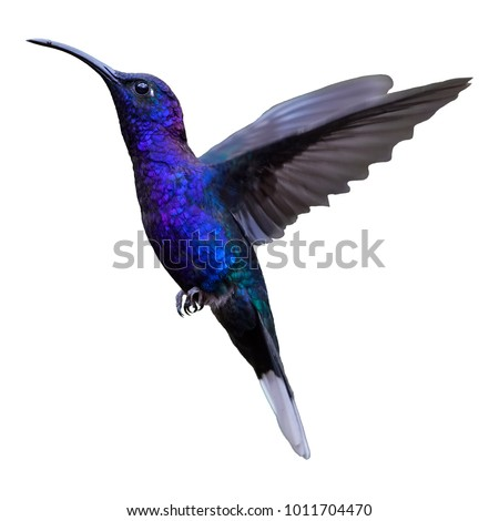 Isolated on white background, glittering blue hummingbird, Campylopterus hemileucurus, Violet Sabrewing in flight. Hovering tropical hummingbird. Ready for various purpose.