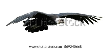 Isolated on white, close up Andean condor, Vultur gryphus, flying  with outstretched wings. Largest flying bird in the world, large black vulture, on white background.