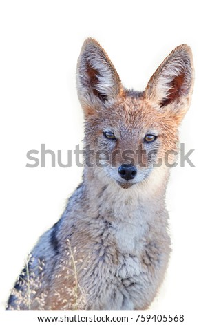 Isolated on white, portrait of Black Backed Jackal, Canis Mesomelas, african canid lit by morning sun staring directly at camera. Kgalagadi park. African wildlife photography in Kalahari, Botswana