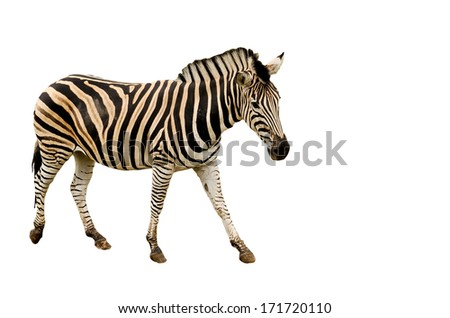 Isolated on white zebra portrait - stock photo