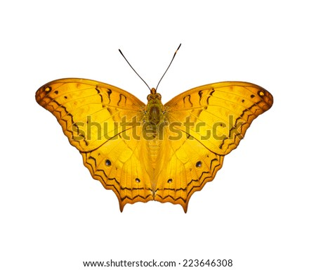 Isolated orange  common cruiser butterfly with clipping path - stock photo