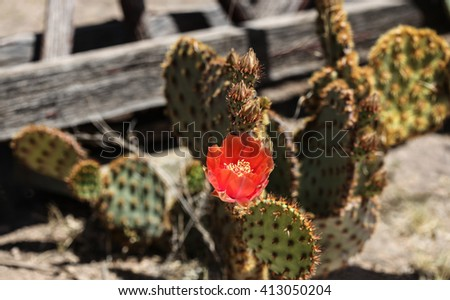 Isolated orange flower on low cactus plant in desert sunshine/One Spring Flower in Orange Color on Low-Growing Desert Plant in Midday Sunlight/Lone orange cactus bloom on desert cactus in sun at noon - stock photo