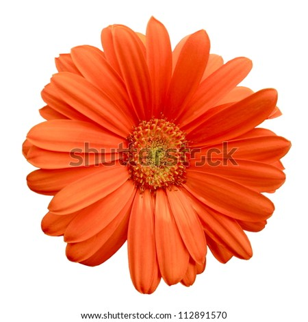 Isolated Orange Gerbera Daisy - stock photo