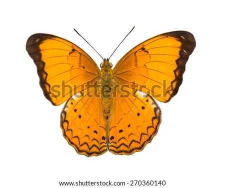 Isolated Orange Large yeoman butterfly with clipping path - stock photo