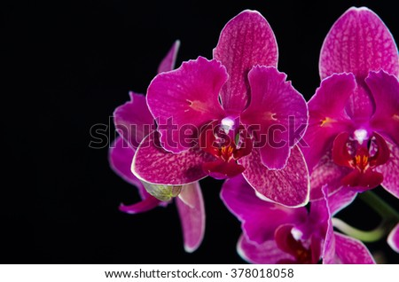 Isolated orchid flower on black background