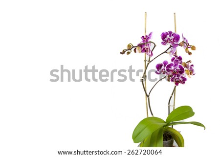 Isolated orchid flower on white