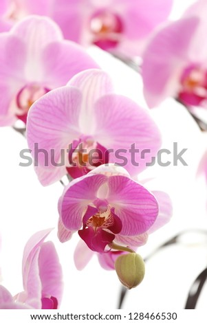 isolated orchid with white background