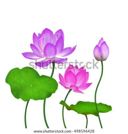 Isolated pink and violet lotus flowers