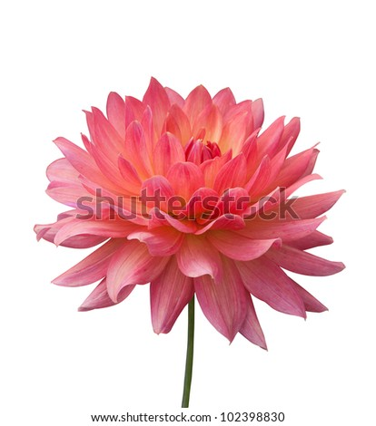 isolated pink flower on white background - stock photo