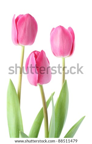 Isolated pink tulips - spring time - stock photo