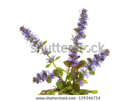 Isolated plant of the bugle herb, or Ajuga reptans, with its pretty blue flowers, used in herbal medicine to stem bleeding on white - stock photo
