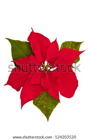 Isolated poinsettia against a white background with green leaves. - stock photo
