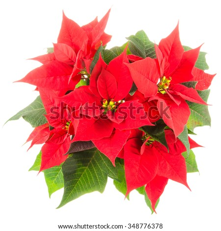 Isolated poinsettia (Euphorbia pulcherrima) flower