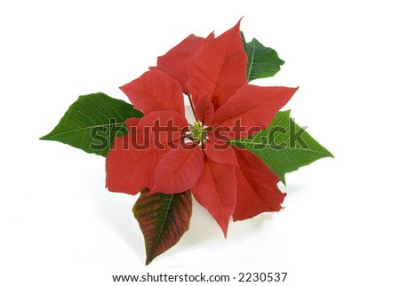 Isolated poinsettia flower and leaves