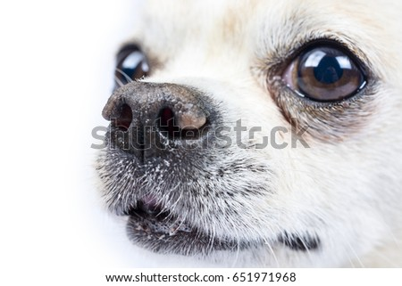 Isolated portrait of a beautiful chihuahua