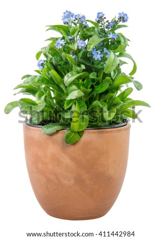 Isolated potted blue Myosotis flower (forget-me-not) - stock photo