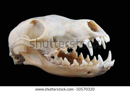 Isolated red fox (Vulpes vulpes) skull on a black background - stock photo