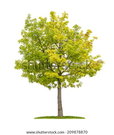 isolated red oak tree on a white background - stock photo