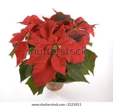 Isolated red poinsettia plant