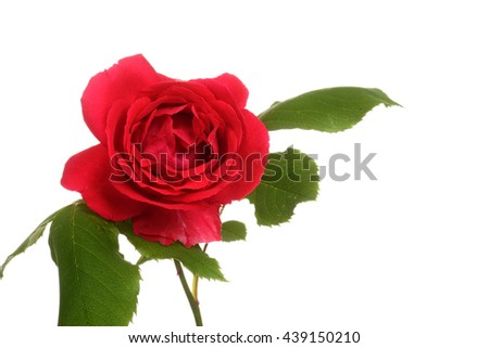 isolated red rose - stock photo