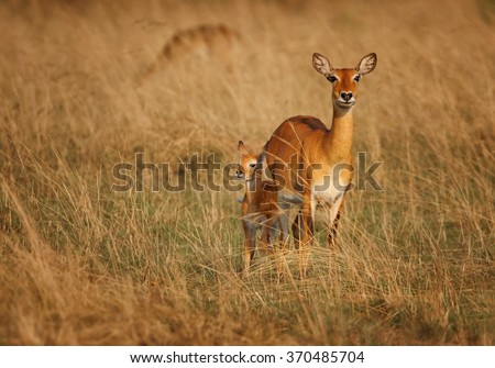 Isolated reddish-brown antelope Kobus kob thomasi -- Uganda kob, female with big veiny ears in its typical environment,staring directly at camera. Dry brown blurred savanna in background, female. - stock photo