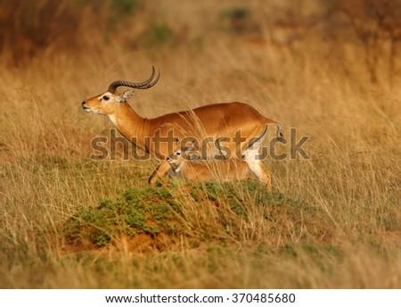 Isolated reddish-brown antelope Kobus kob thomasi -- Uganda kob,territorial male in mating season sniffs female, in its typical environment, dry brown blurred savanna in Murchison Falls,Uganda.. - stock photo