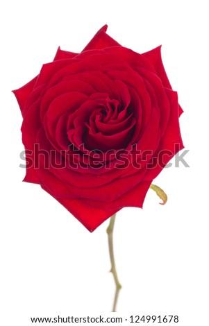Isolated rose - stock photo
