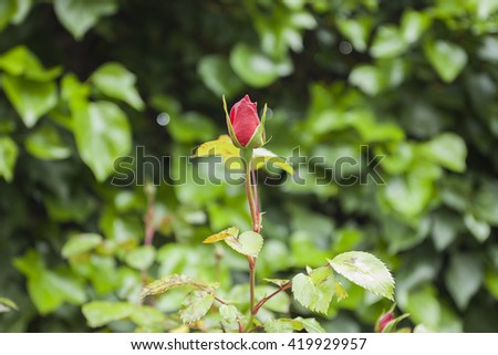 Isolated rose plant