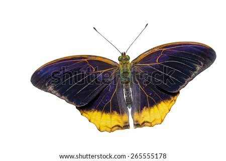 Isolated royal assyrian butterfly with clipping path - stock photo