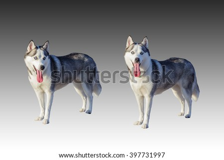 Isolated Siberian husky dogs in sticking the tongue out action with clipping path