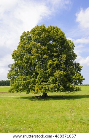 isolated single big old linden tree in summer