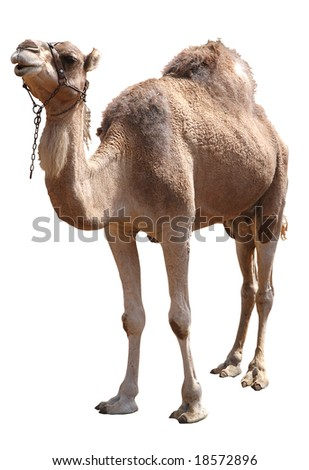 isolated single hump camel with clipping path - stock photo