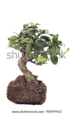 isolated small bonsai tree with the roots views