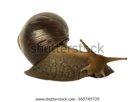 Isolated snail Achatina fulica on a white background - stock photo