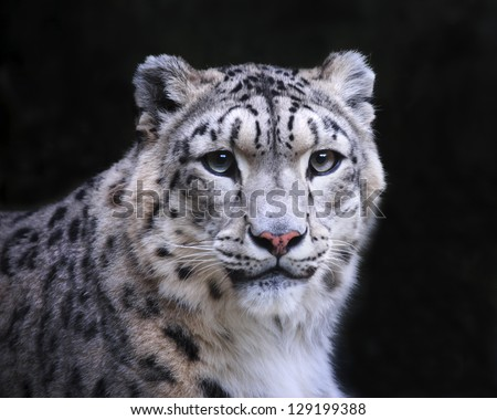isolated snow leopard on black background - stock photo