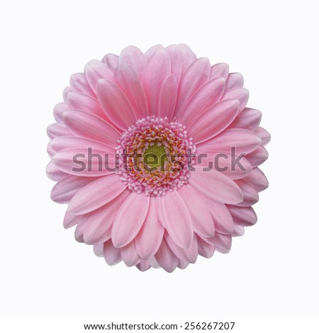 isolated soft pink gerbera daisy flower