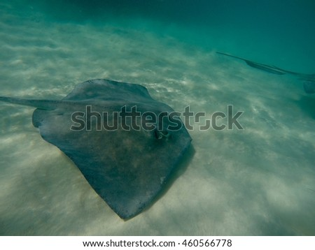 Isolated stingray