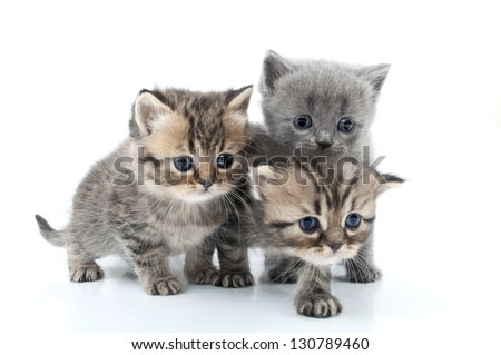 isolated studio portrait of  kittens walking together - stock photo